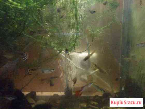Рыбки аквариумные Гуппи Петрозаводск