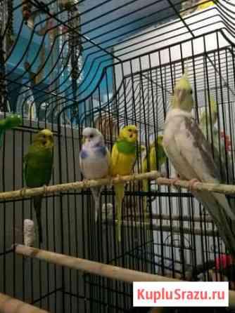 Продаю четыре попугая. Три волнистых (один мальчик Петропавловск-Камчатский