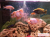 Мотыль лиманный, артемия, корм для аквариумных рыб
