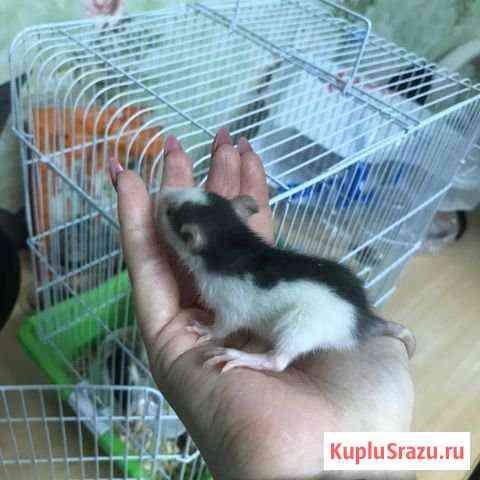 Декоративные крысы Ростов-на-Дону