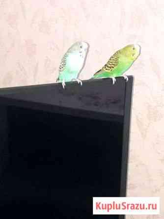 Попугаи Чебоксары