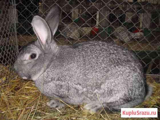Кролики Муром