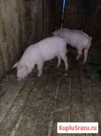 Свинки Кадый