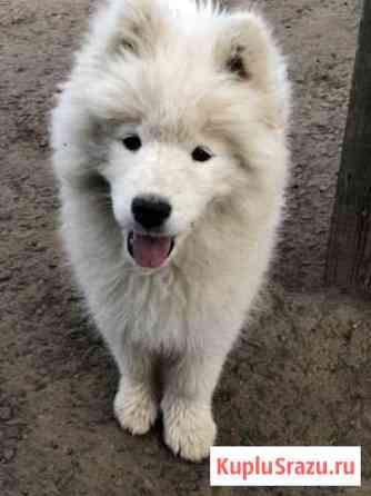 Продам щенка Самоедской собаки Советская Гавань