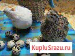 Перепелки : от инкуб.яйца до несушки Белгород