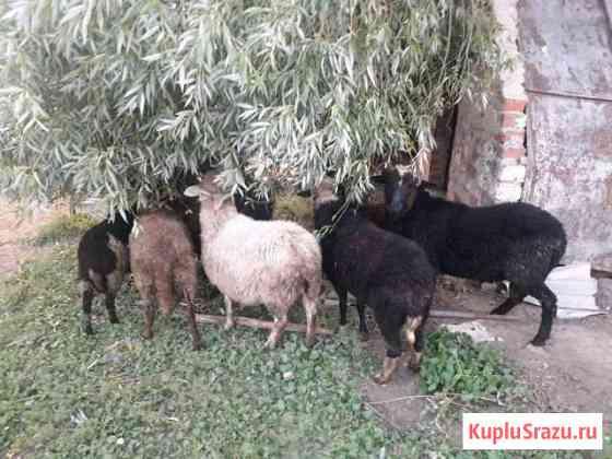 Овцы Краснослободск