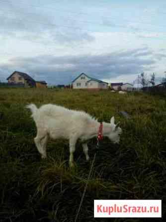 Зааненская коза Морки