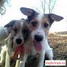 Собачки возраст 1,5года брат(Степан ) и сестра (Бе