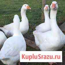 Гуси домашние, очень вкусные, живьём или тушкой Севастополь