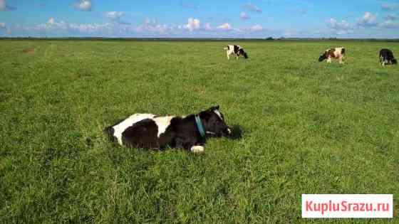Коровы и нетели Славск