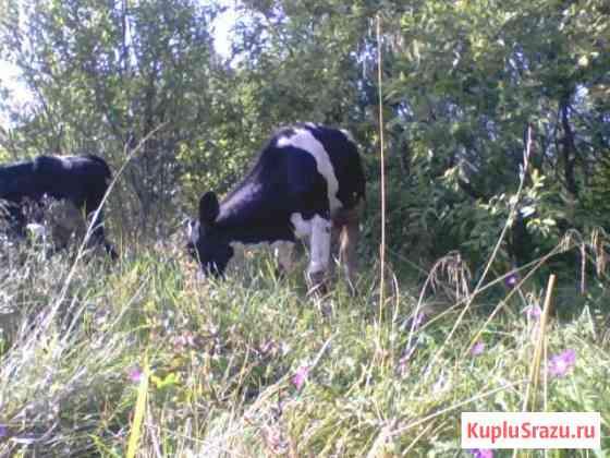 Корова Санкт-Петербург