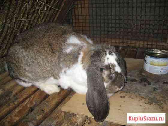 Кролики бельгийский фландр, французский баран Вологда