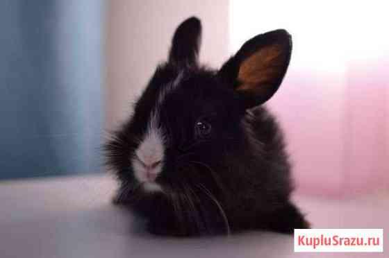 Карликовый декоративный кролик Томск