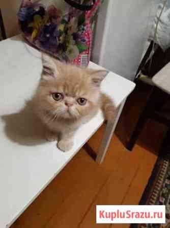 Персидский котенок Краснозатонский