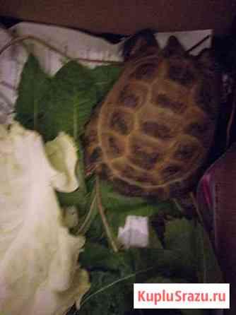 Отдам черепаху в добрые руки Нижний Новгород
