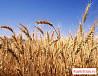 Пшеница, овес