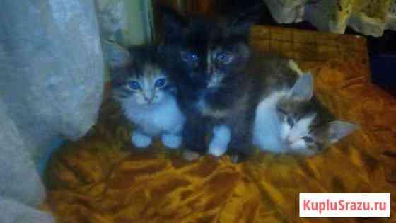 Отдам котят от кошки крысоловки Волжск