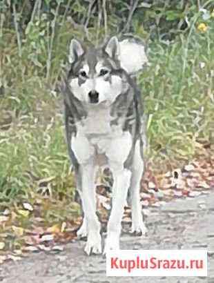 Найден пес Котельнич