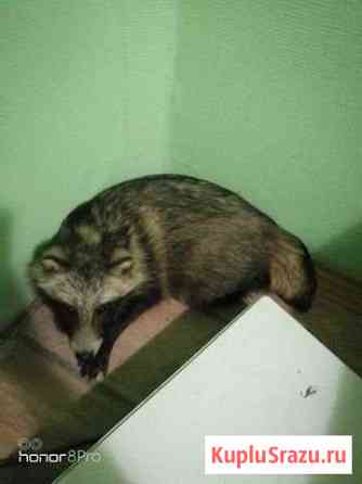 Енотовидная собака Петрозаводск