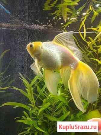Золотая рыбка Рязань