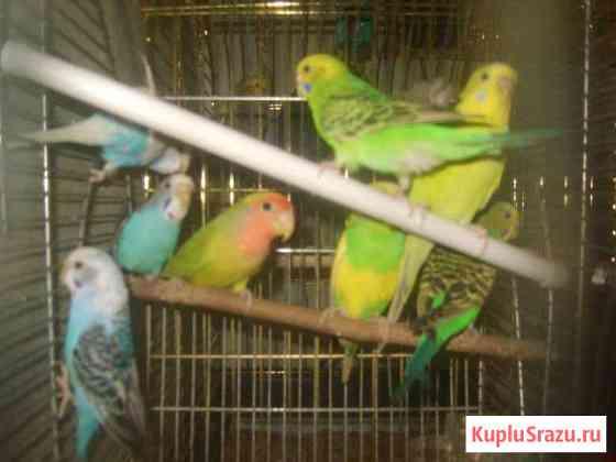Продам попугаев Екатеринбург