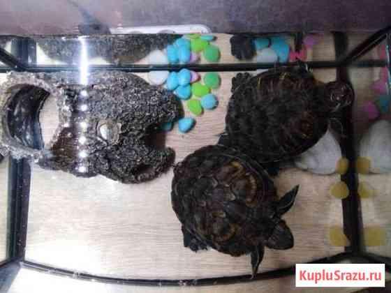 Черепахи Сургут
