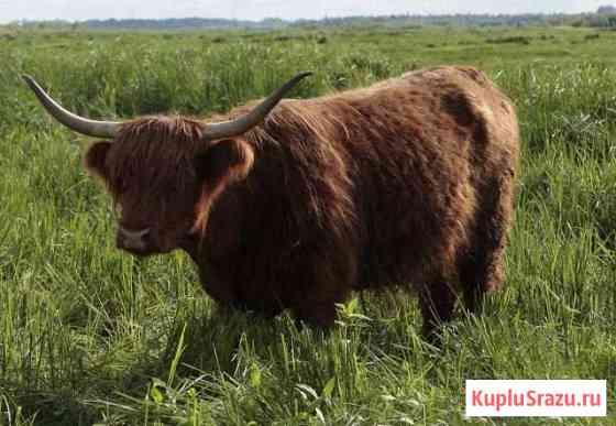 Корова Шотландская высокогорная Нижневартовск