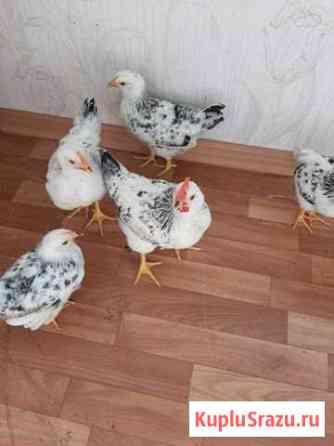 Цыплята порода серебристые, возраст 2 месяца Ставрополь