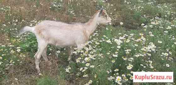 Альпийские козы, козлята, козёл Мельниково