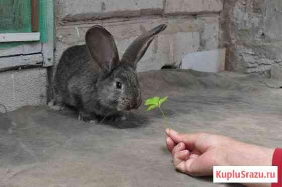 Кролики бельгийский фландер и новозеландские Астрахань