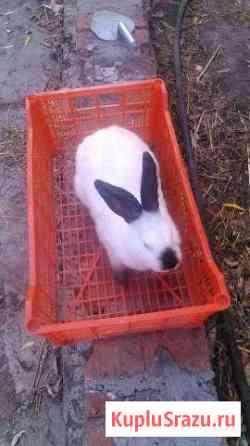 Продаются калифорнийские кролики,возраст 7 месяцев Ишим