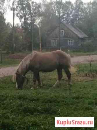 Лошадь Кострома