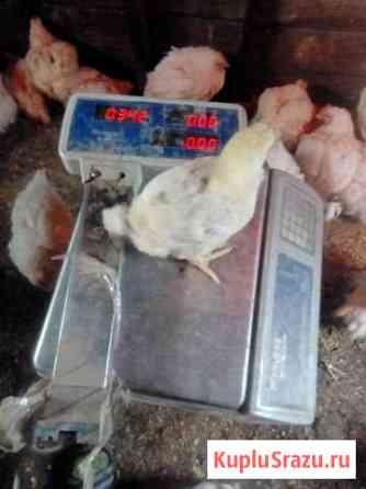 Цыпленок Омск