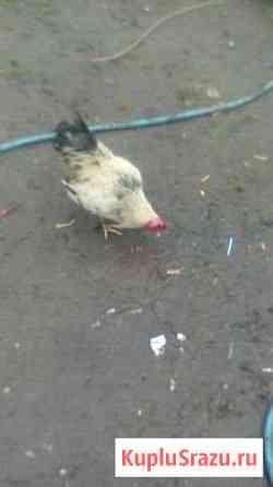 Продам домашних птиц Старая Русса