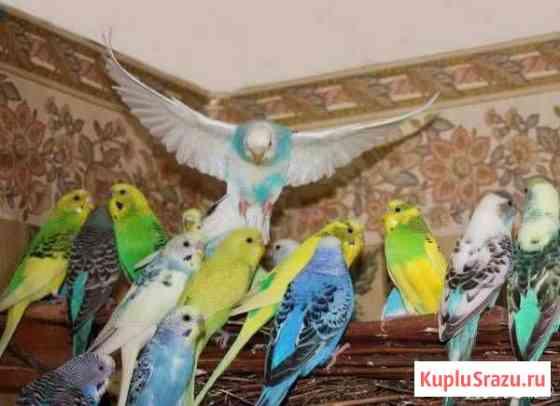 Молодые попугайчики Кострома