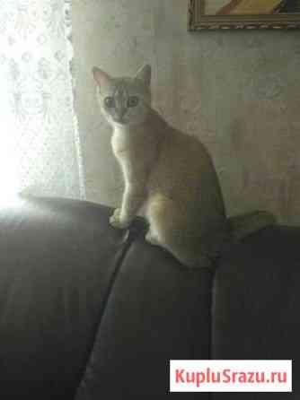 Кошечка Майкоп
