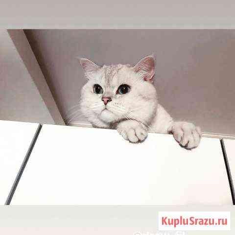 Вязка с Британским котом Железнодорожный