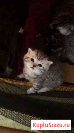 Шотландцы котята Астрахань