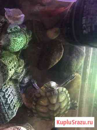 Черепахи Улан-Удэ