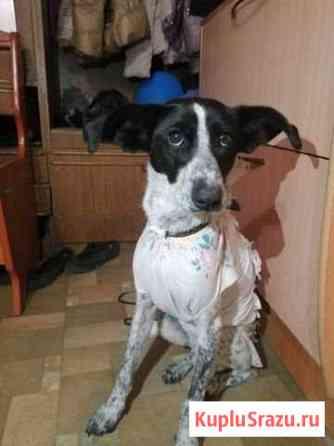 Отдам собак собак для охраны Йошкар-Ола
