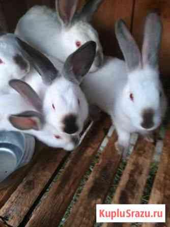 Кролики калифорнийской породы Брянск