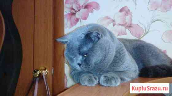 Британский кот для вязки Пермь
