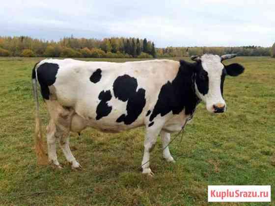 Коровы Дорохово