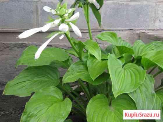 Многолетние садовые растения Верхний Мамон