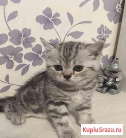 Британский котёнок 1,5 мес Пермь