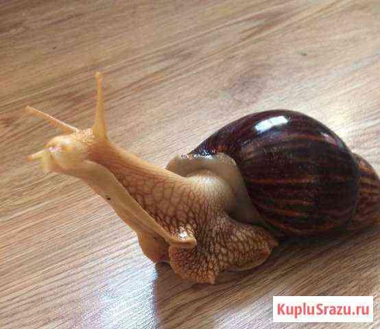 Улитка:Ахатина(но редкой породы от морщин) Сочи