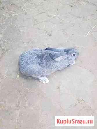 Кролики советская шиншилла Волгоград