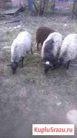 Овцы Зеленчукская