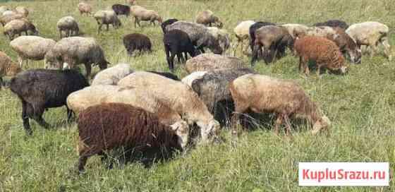 Овцы Шадринск
