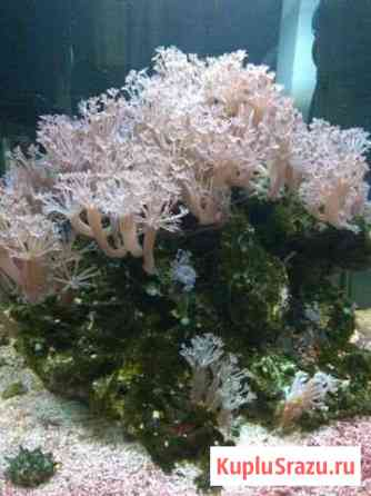 Ксения Пульсирующая кораллы Анапа